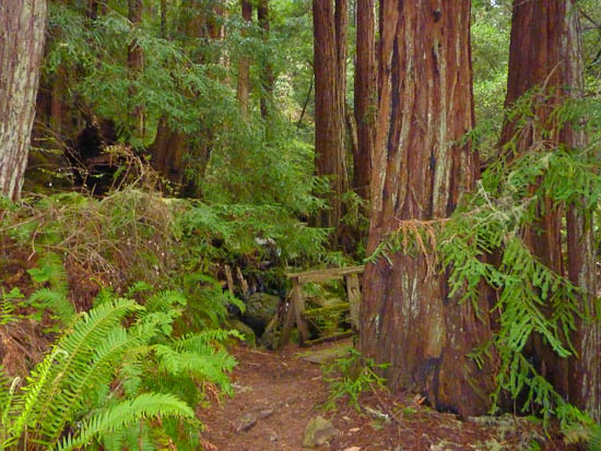 Giant Redwoods line Redwood Creek and the Bootjack Trail