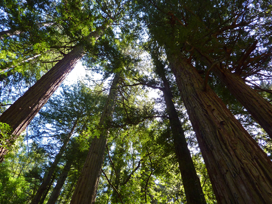 Redwoods on the Steep Ravine Trail