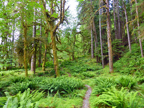 The North Fork Quinault River Trail