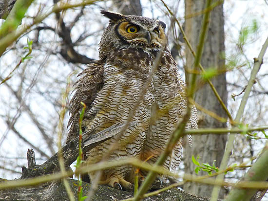 Great Horned Owls at Twin Lakes