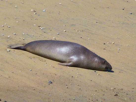 Elephant seals began re-colonizing Point Reyes in the early 1970s
